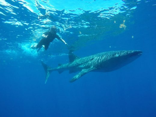 tiburón ballena snorkeling