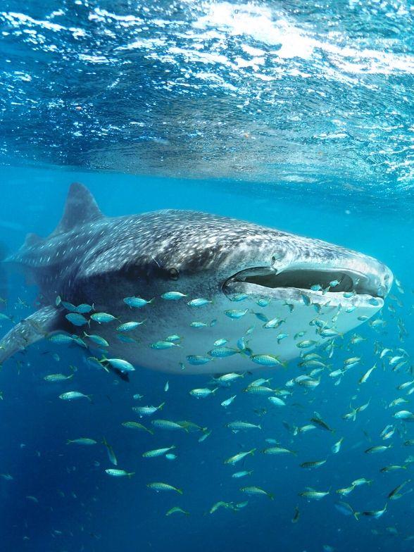 tiburón ballena snorkel